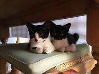 Black & White Male Kittens
