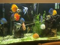 Discus and Angel fish for sale