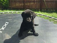 last labrador pup due to time waster for sale,wormed,healty chunky girl