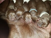 THETFORD - A litter of 7 KC Registered Chocolate Labrador puppies for sale