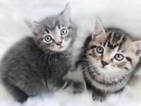 GREY kitten left