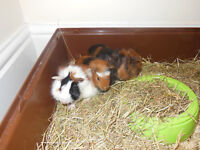 Beautiful Guinea Pigs