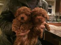 We are the best tiny toy - toy size poodle breeder in Ontario