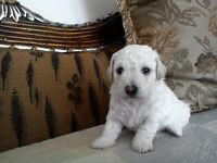 Pure BISCHON FRISE puppy for sale Girl £700