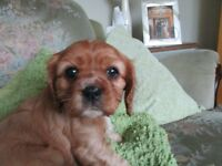 Cavalier king charles spanial puppy