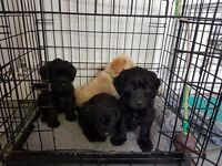 F2 Miniature Labradoodle puppies available now