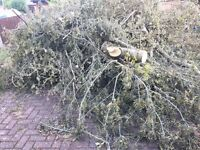 Free tree for firewood