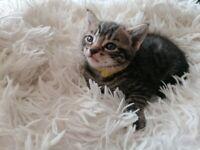 Beautiful Tabby Kittens £120
