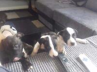Staff x American bulldog puppies