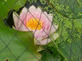 Water Lilly MADAME WILFRON GONNIERE Beautifull Double Pink Lily of moderate growth