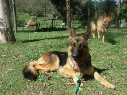 German Shepherd Purebred Female with Papers, Beautiful Soft Coat