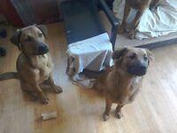 6 Months. 1 Male + 1 Female Half Rottweiler