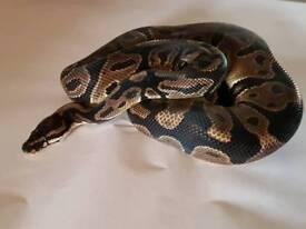 Adult male leapord royal ( ball ) python / snake