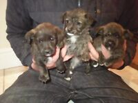 Beautiful westie x miniature jack Russel puppies for sale.