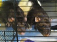2 x female rats and accessories