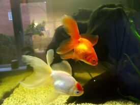 5 Healthy, fancy goldfish, needing a new home.