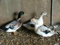 Harlequin Duck Trio for sale