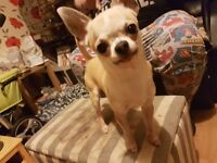 Male short coat chihuahua for sale