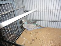 Young Violet cock Budgie for sale