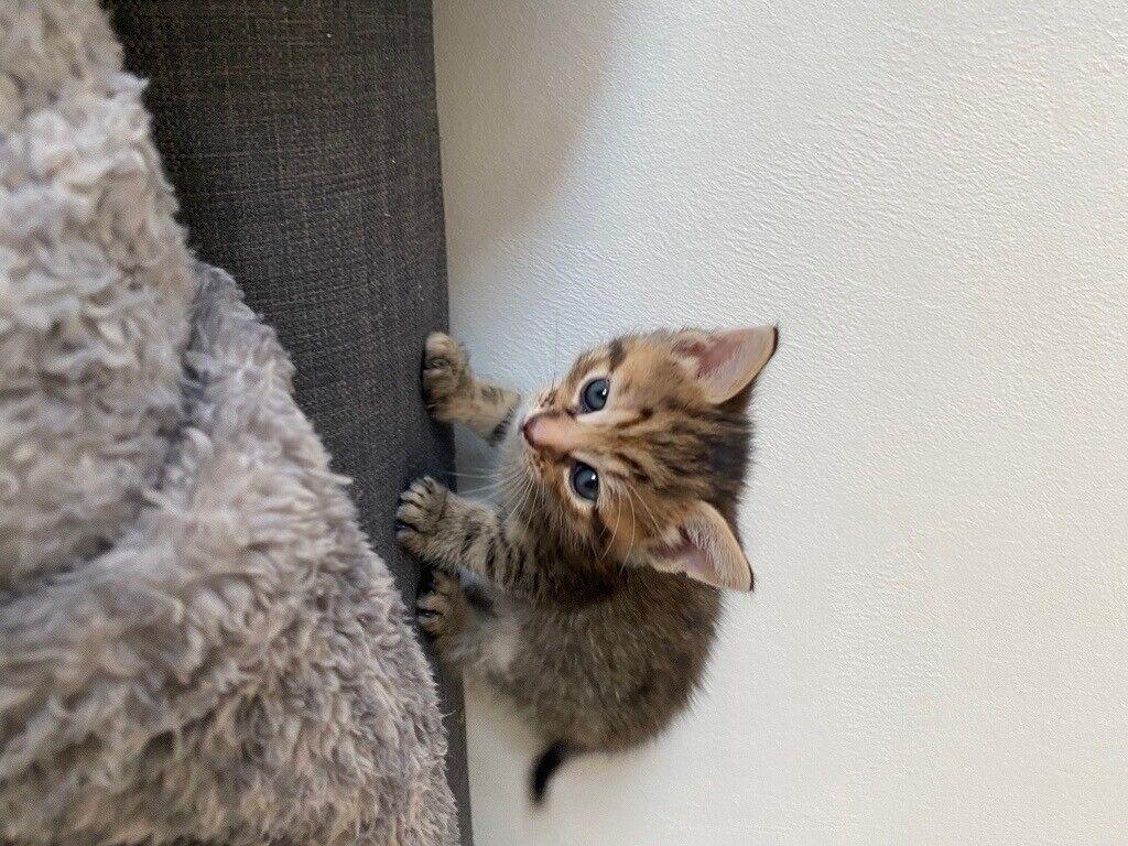 4 Kittens For Sale In Easterhouse Glasgow Gumtree