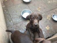Weimaraner x German short haired pointer puppy