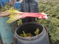 RHUBARB PLANTS organicaly grown
