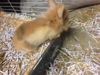 3 lion head baby rabbits for sale need to go