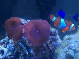 Marine Fish Pair of Clowns.