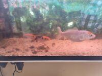 Koi Fish x 3