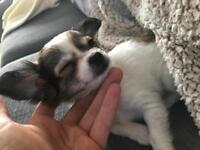 Tiny chihuahua pup