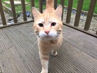 Lost Ginger Cat in the Dundonald area