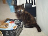 Ragdoll x Main-coon Kittens