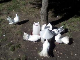 Fantail doves