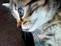 Very sweet and pretty golden female tabby kitten,ready to go!