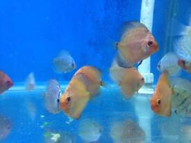 Discus for sale