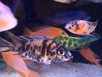 Cheapest in leicester African Malawi ,hap ,Cichlid ,peacock dolphin tropical fish aquarium