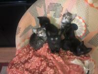 Mixed breed tabby kittens