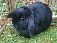 Adult Female Mini Lop Rabbit with Hutch and Accessories