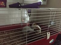 Gorgeous Guinea pigs x2 with cage
