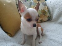 Mini Chihuahua (beloved dumplings:),for sale due to moving