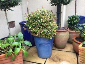 Tall blue glazed pot & plant