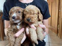 Gorgeous cockapoo puppies