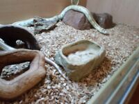 California king snake plus set up..