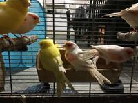 Pair of canary for sale