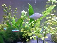 2 Dwarf neon rainbow fish. Male and female.