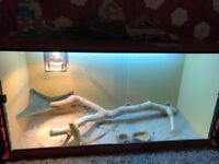 Bearded dragon with tank and accessories £160