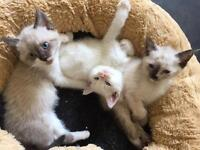 British Shorthair, Maine Coone and Ragdoll Kittens