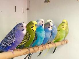 Beautiful budgies for sale .