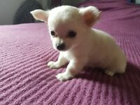Only one adorable litlle boy available!!!Long coat chihuahua puppie!!!