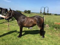 *FOR SALE* Dales X Filly